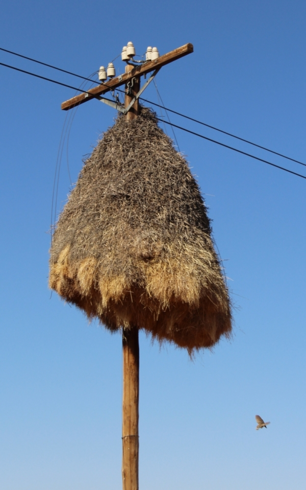 A social weavers' nest attached to a telephone pole. What will they do when cell phones take over completely?